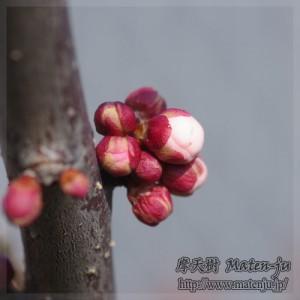 梅のツボミ Buds of Ume