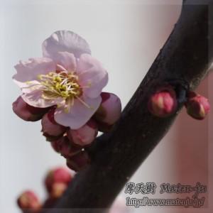 梅の花 Ume