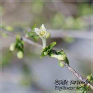 ウグイスカグラ(黄)の花