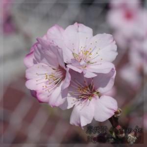 アーモンドの花 Almond