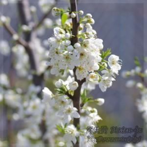 バイオチェリーの花 Biocherry