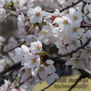 新宿御苑の桜 Cherry blossoms inShinjuku Gyoen