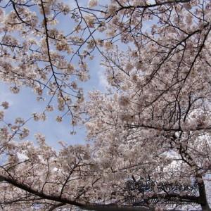 新宿御苑の桜 Cherry blossomes in Shinjuku Gyoen