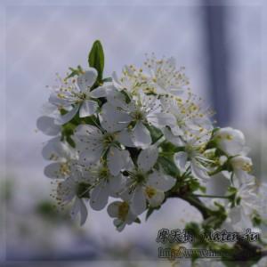 プルーンの花 Prune
