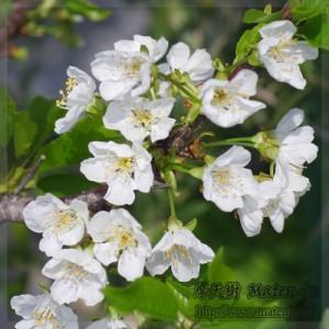 さくらんぼの花 Flower of Cherry