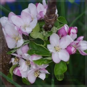 リンゴの花(品種:ワルツ) Flower of Apple (Walz)