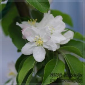 リンゴの花(品種:アルプス乙女) Flower of apple (Alps OTOME)