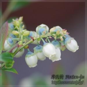 ブルーベリーの花(品種:ニューハノーバー) Flowers of Blue berry (New Hanover)