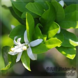 Flowers of Mandarin orenge