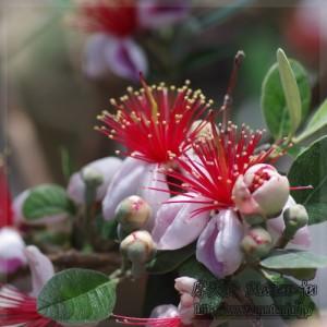 フェイジョアの花 Flowers of Feijoa