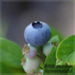 ブルーベリー Blue berry