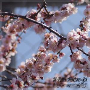 梅の花 ume blossom