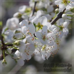 バイオチェリーの花