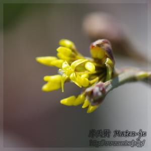 コーネリアンチェリーの花