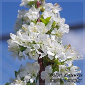 白い花を大量に咲かせていました☆