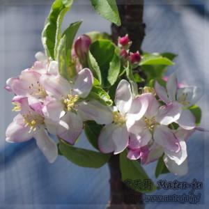 リンゴ(ワルツ)の花