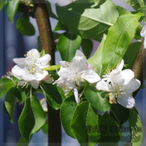 リンゴ(アルプス乙女)の花