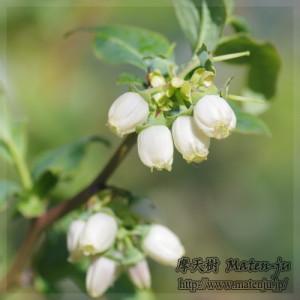 ハナンズチョイスという品種のブルーベリーの花です。かわいい花ですよね^^♪