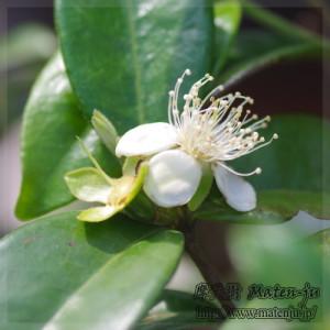 Pitangatubaの花