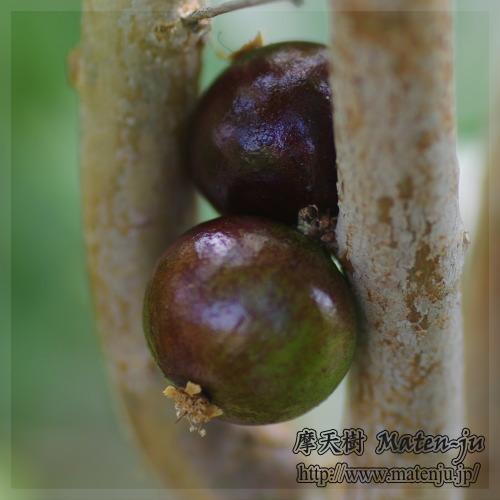 Jabuticaba (Plinia cauliflora )