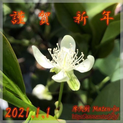 グルミシャマ(Eugenia brasiliensis)の花